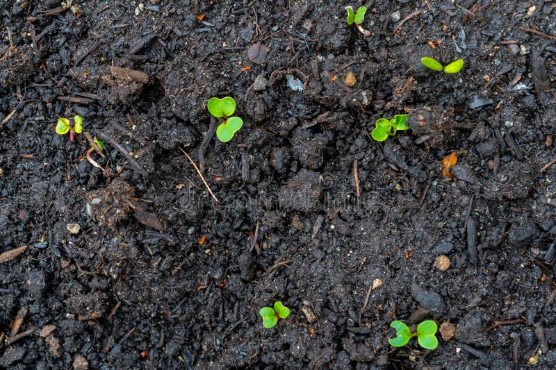 Radish seedling sprouts shoots growing out of dark compost soil in a real garden, in the early spring. Shows bright green leaves royalty free stock images