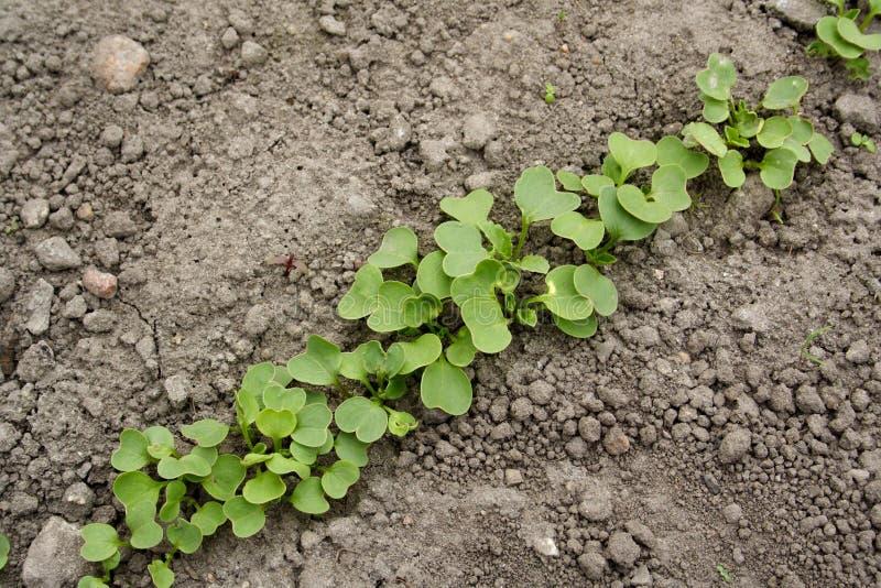 Radish seedlings in row stock images