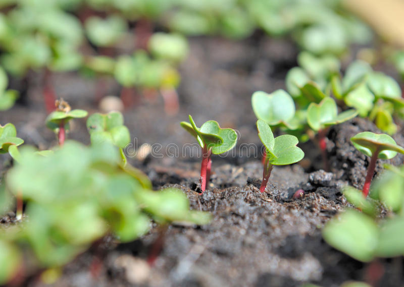 Radish sprout. Close on a radish sprout in a vegetable garden stock images
