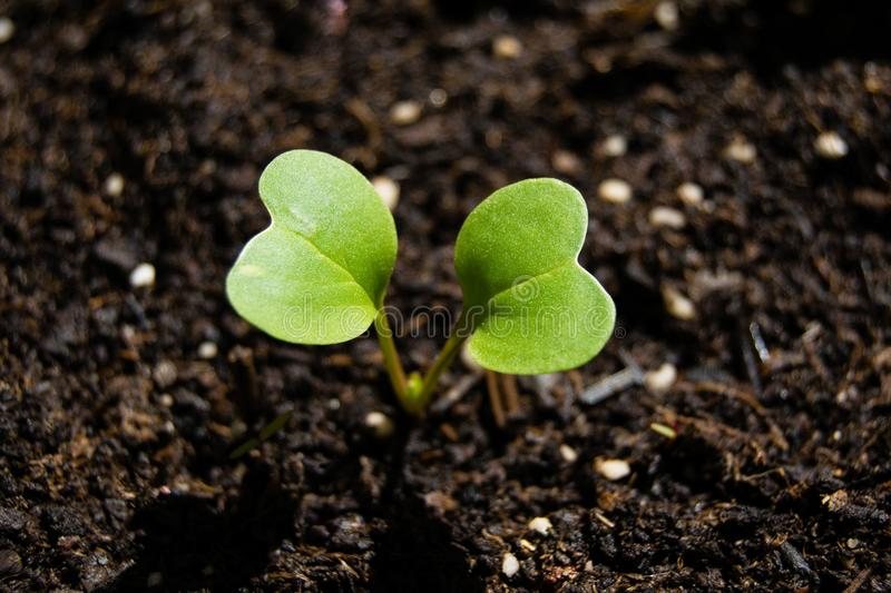 Radish sprout growing from the ground, spring plant royalty free stock photos