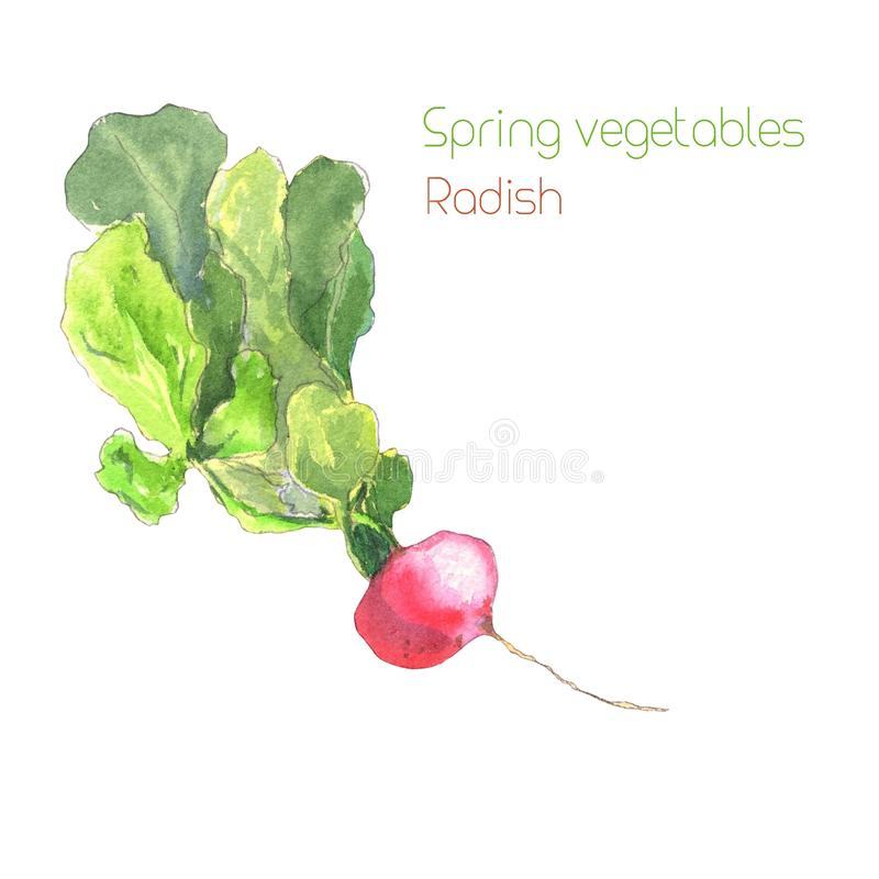 Radish with leafy tops. Watercolor painting of radish, isolated on white background - Illustration vector illustration