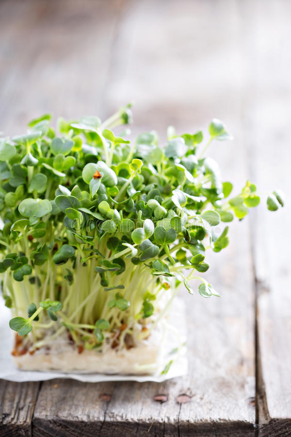 Radishes sprouts fresh and green royalty free stock photos