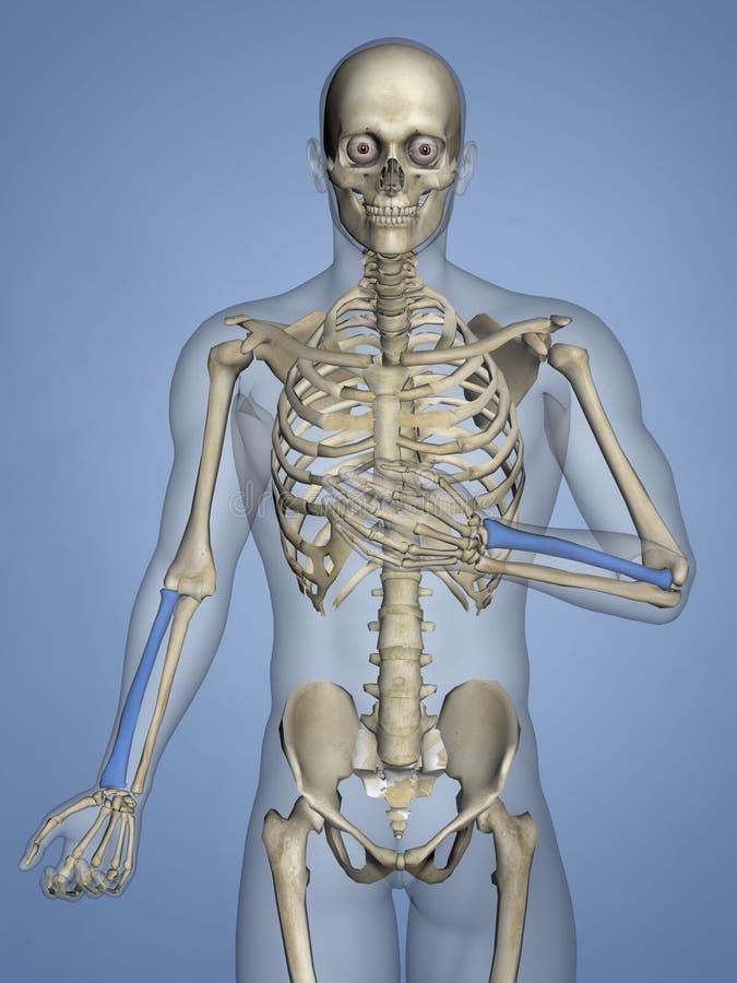 Radius, Human Skeleton, 3D Model stock photography