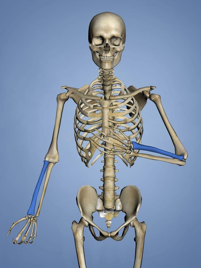 Radius, Human Skeleton, 3D Model royalty free stock images