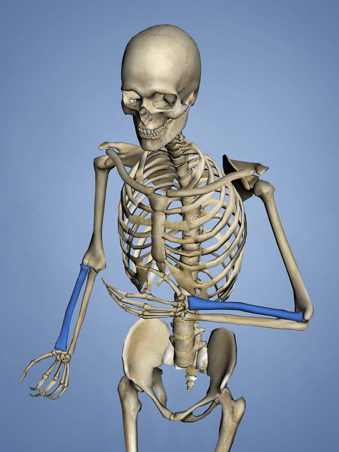 Radius, Human Skeleton, 3D Model stock image
