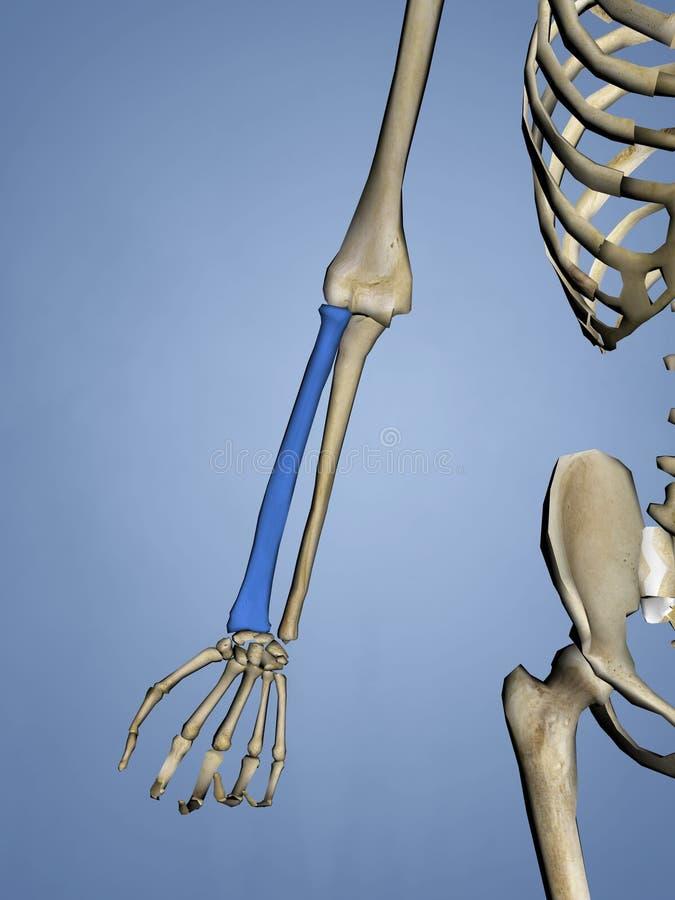 Radius, Human Skeleton, 3D Model royalty free stock photos