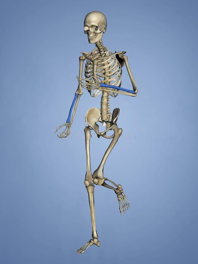 Radius, Menschliches Skelett, Modell 3D Stock Abbildung ...
