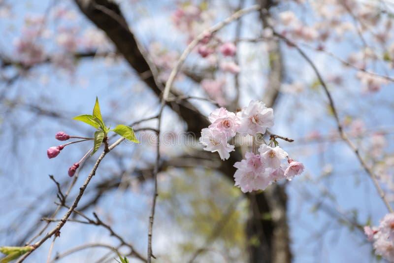 Radosny okwitnięcie kwitnie w Japonia zdjęcia stock