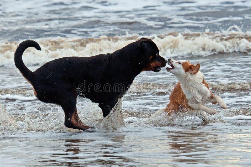 Raduno del cane di Brenton e di Rottweiler sulla spiaggia fotografie stock libere da diritti