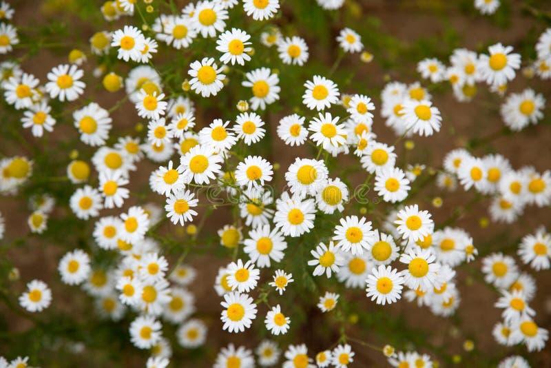 Radura dei fiori bianchi della camomilla un chiaro giorno soleggiato immagini stock