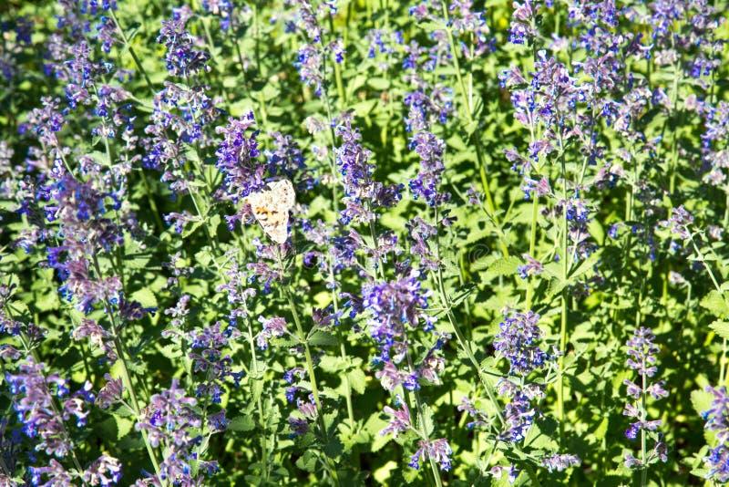Radura dei fiori lilla della lavanda un chiaro giorno soleggiato Fuoco selettivo fotografie stock
