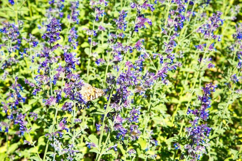 Radura dei fiori lilla della lavanda un chiaro giorno soleggiato Fuoco selettivo immagini stock