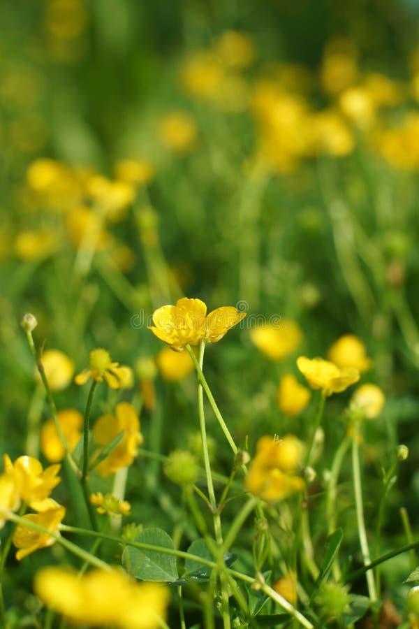 Radura dei ranuncoli gialli un giorno di estate soleggiato fotografie stock libere da diritti