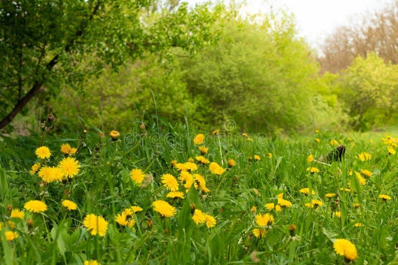 Radura del dente di leone della primavera Molti fiori gialli, erba e luce calda immagini stock libere da diritti