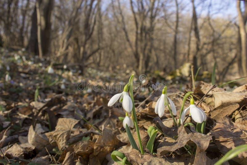 Radura in pieno dei bucaneve che crescono tramite le foglie dell'anno scorso nella foresta fotografia stock