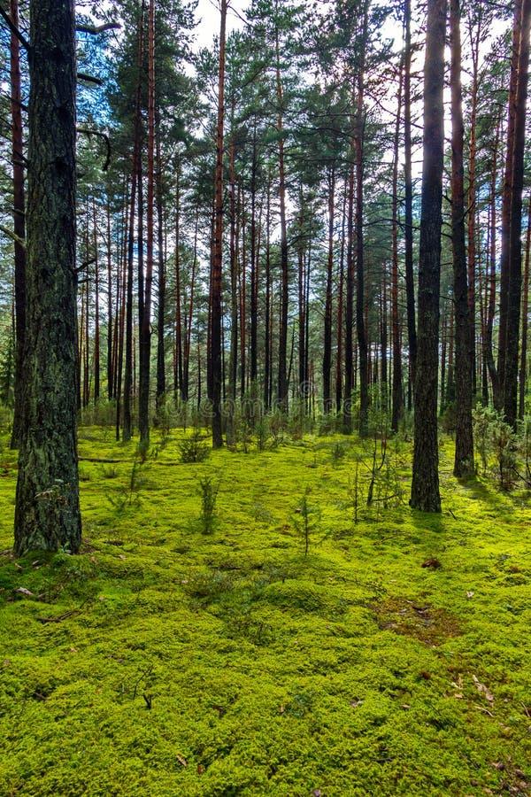 Radura verde della foresta con le piccole piantine conifere e gli alti pini massicci fotografie stock