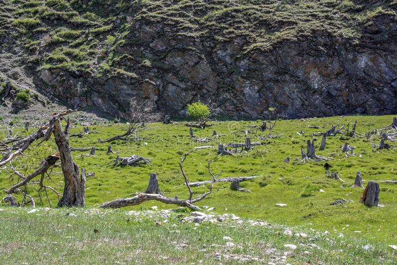 Radura verde intenso con gli alberi basso a crescita curvati immagine stock