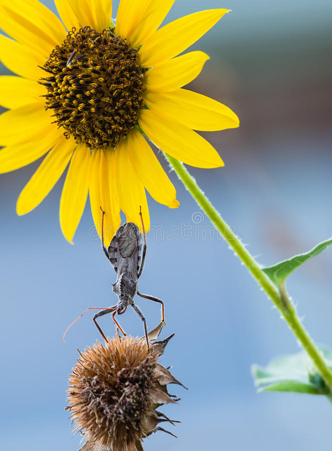 Radwanze (Arilus cristatus) auf Sonnenblumen lizenzfreie stockfotografie