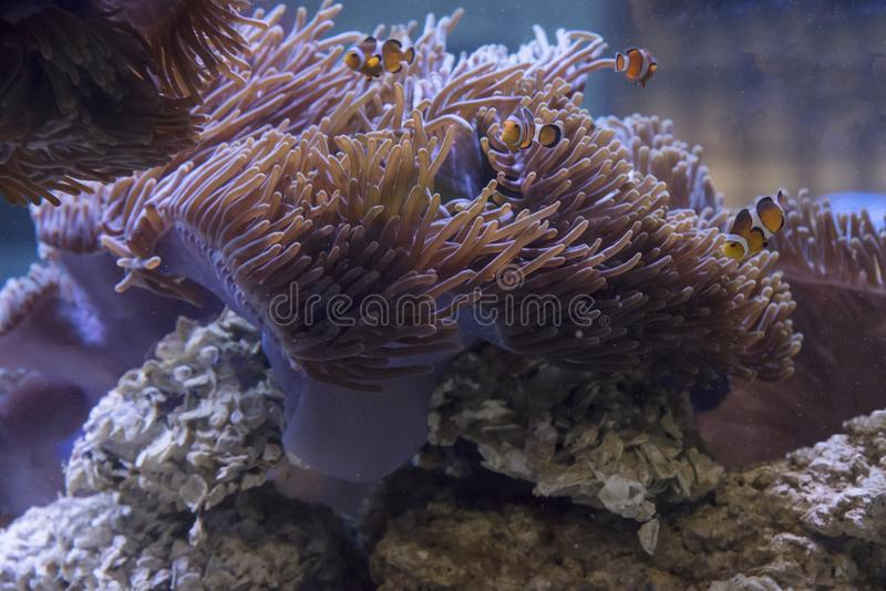 Rafa koralowa w akwarium fotografia royalty free