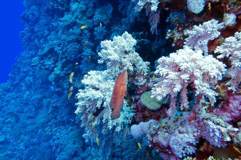 Rafa koralowa z czerwonymi egzot ryba cephalopholis przy dnem tropikalny morze fotografia stock
