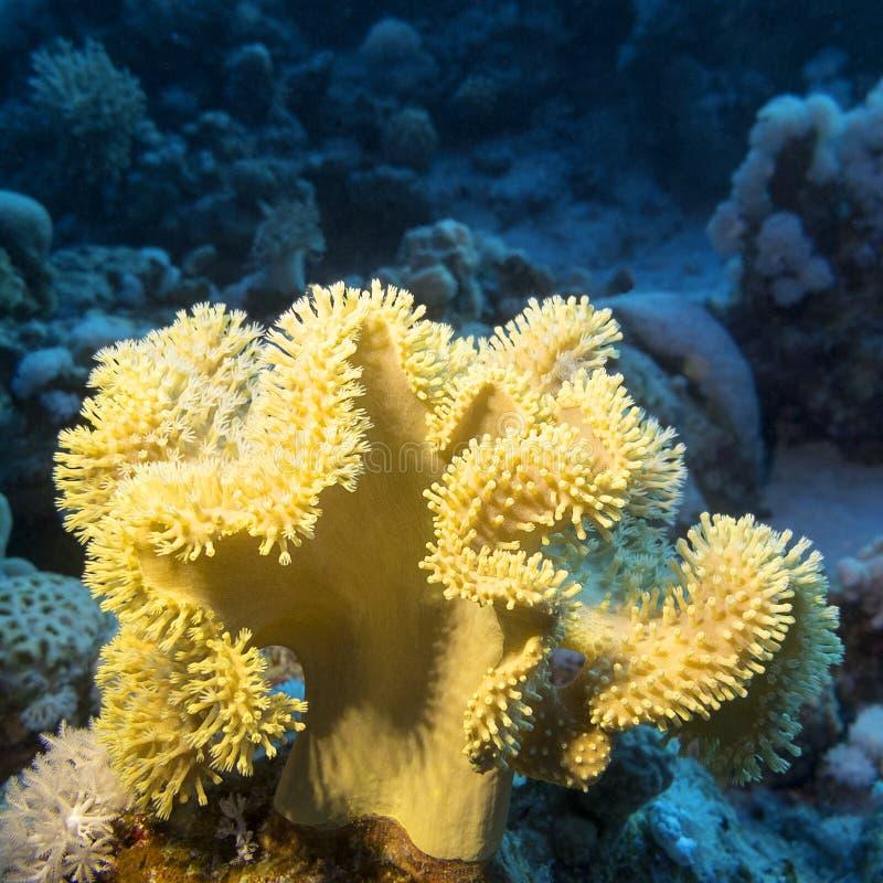 Rafa koralowa z wielkiej kolor żółty pieczarki rzemiennym koralem przy dnem tropikalny morze zdjęcie stock