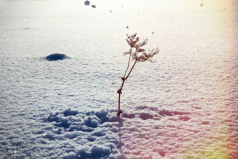 Raffica delle cadute della neve e del vento dall'albero sulla scrofa asciutta immagini stock