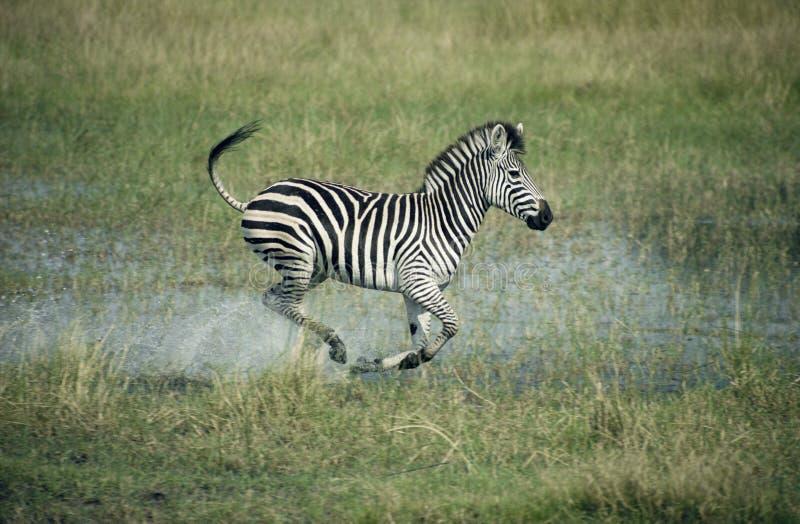 Raffine le zèbre, quagga d'Equus images stock