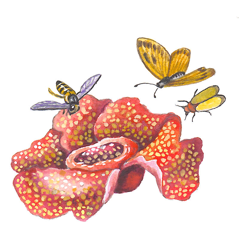 Rafflesia royalty free illustration