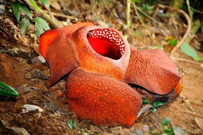 Rafflesia obraz royalty free