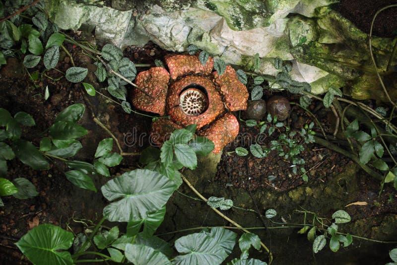 Rafflesia fotografia royalty free