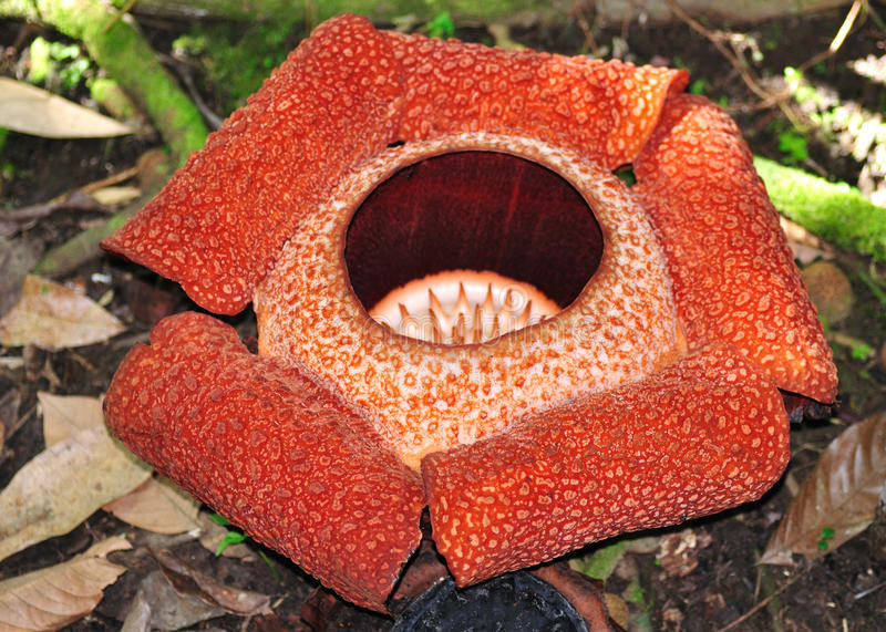 Rafflesia, the biggest flower in the world stock photography