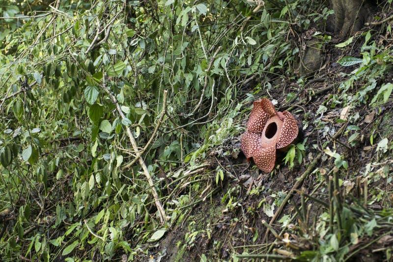 Rafflesia duży kwiat w świacie fotografia stock