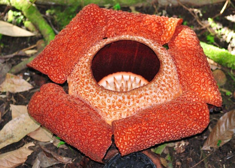 Rafflesia, a flor a mais grande no mundo fotografia de stock