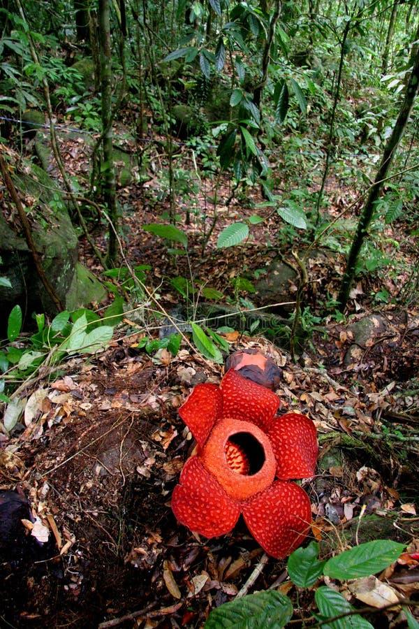 Rafflesia, a flor a mais grande no mundo imagens de stock