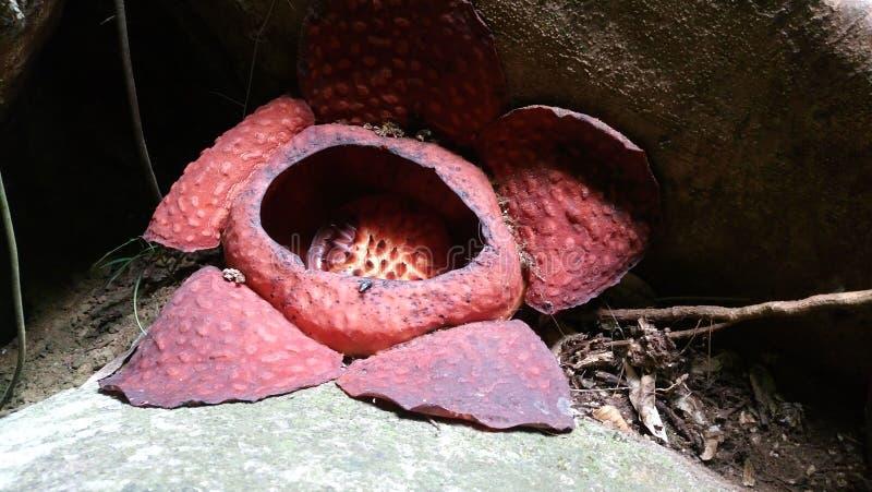 Rafflesia kwiatu okwitnięcie obrazy stock