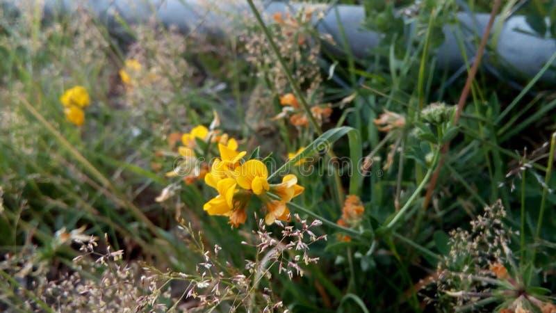 Raffreddi, fiore abbastanza giallo fotografia stock libera da diritti