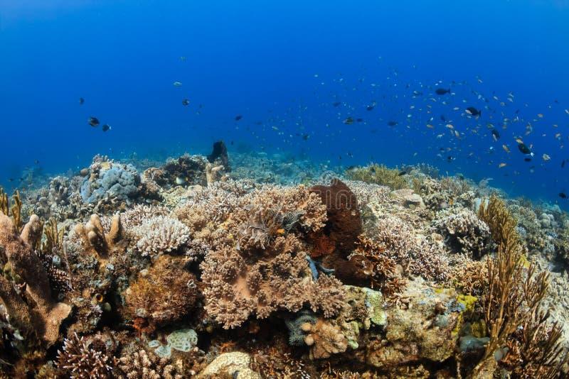 Rafowa ryba i korale na tropikalnej rafie koralowa obraz royalty free