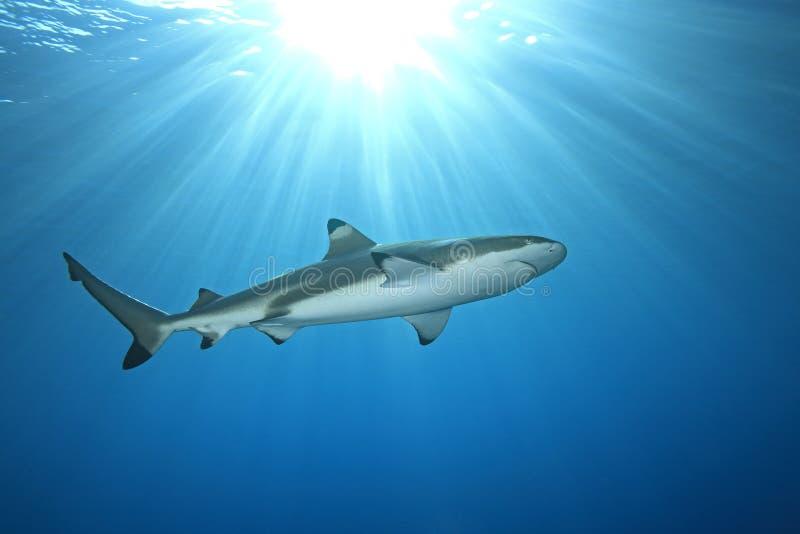 rafowy blacktip rekin fotografia royalty free