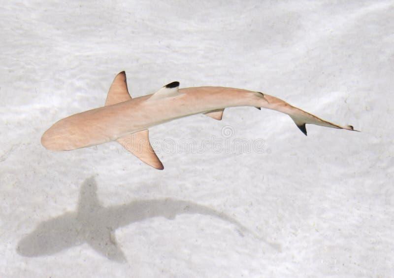 Rafowy Blacktip rekin obrazy royalty free