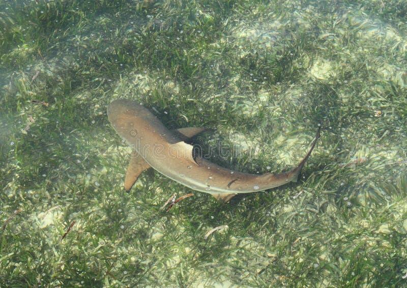 Rafowy Blacktip rekin obraz stock