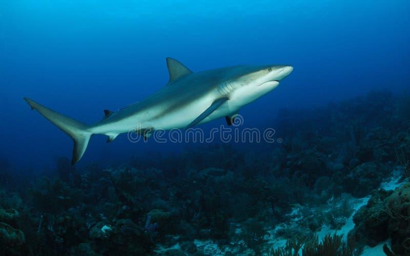 rafowy Caribbean rekin zdjęcie royalty free
