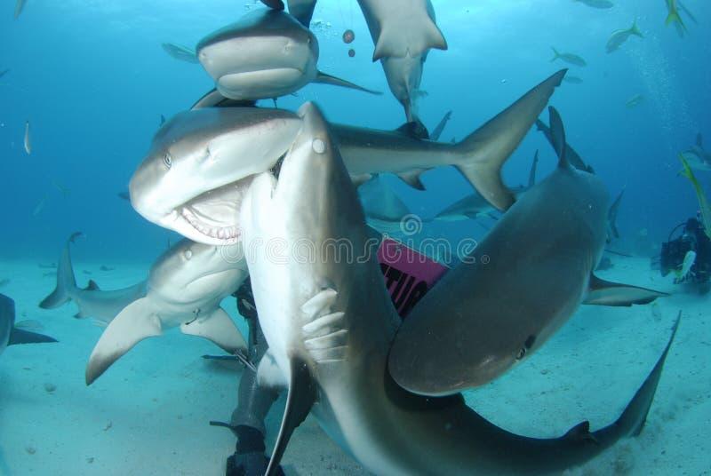 rafowy Caribbean rekin fotografia royalty free