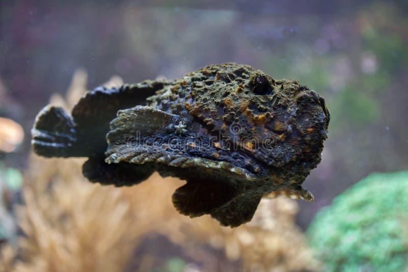 Rafowy stonefish & x28; Synanceia verrucosa& x29; zdjęcie stock