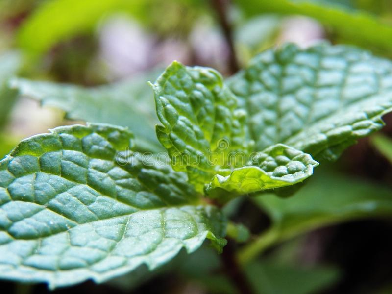 Rafrescamento das folhas de hortelã imagens de stock