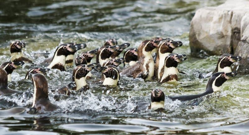 Raft Humboldt Penguins, Spheniscus humboldti, Ameryka Południowa fotografia royalty free