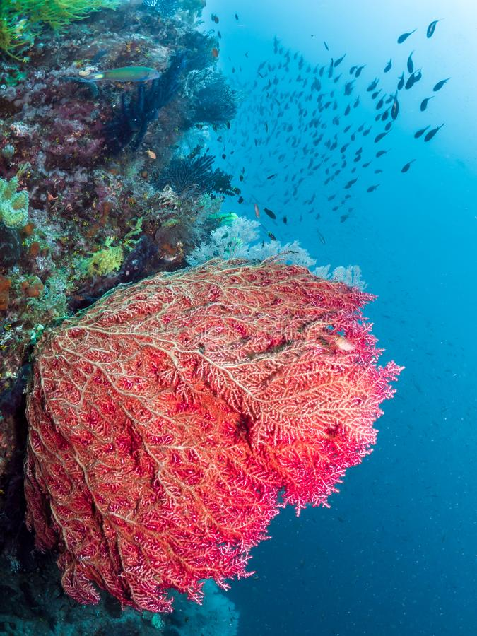 Rafy koralowa, Duży czerwony denny fan, Raja Ampat, Indonezja fotografia royalty free