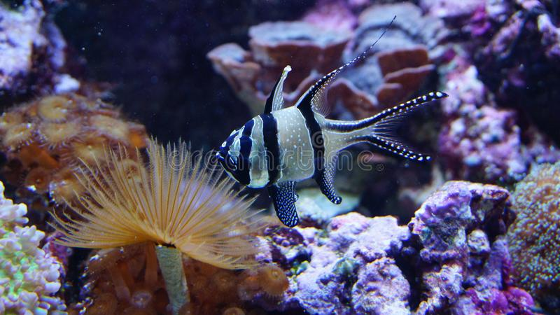 Rafy koralowej rybi dopłynięcie przed anemonów koralami obraz royalty free