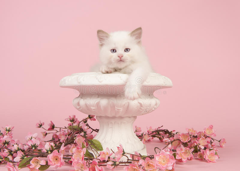 Rag doll baby cat with blue eyes hanging over the edge of a flower pot with pink flowers on a pink background. Cute 6 weeks old rag doll baby cat with blue eyes royalty free stock image