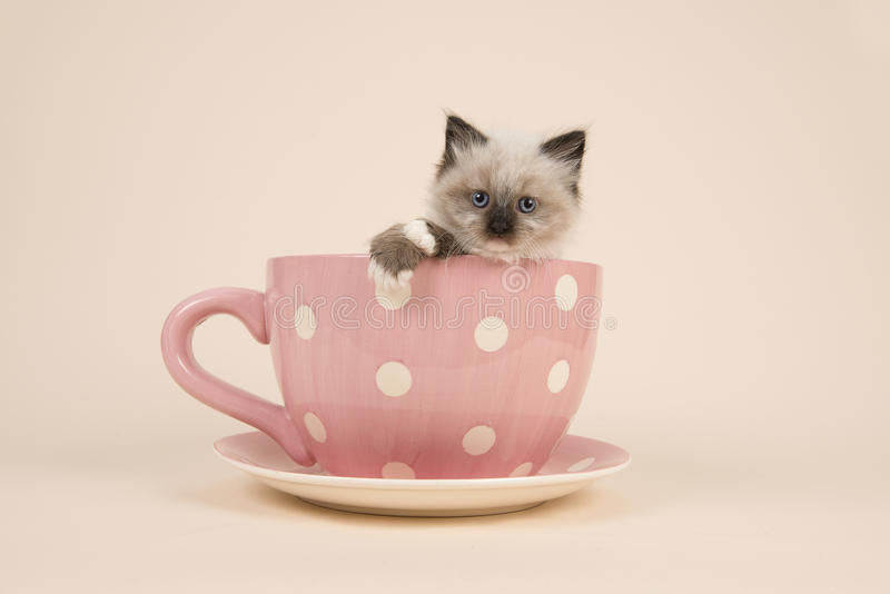 Rag doll baby cat with blue eyes hanging over the edge of a pink and white dotted cup and saucer and a off-white background. Cute 6 weeks old rag doll baby cat royalty free stock images