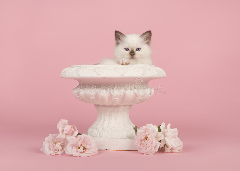 Rag doll baby cat with blue eyes in a white flower pot with real white roses on a pink background royalty free stock photography